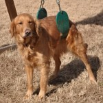 My Swinging Golden Retriever