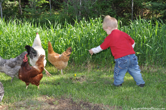 Feed the chickens