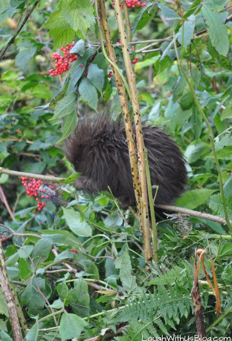 Baby porcupine in Alaska
