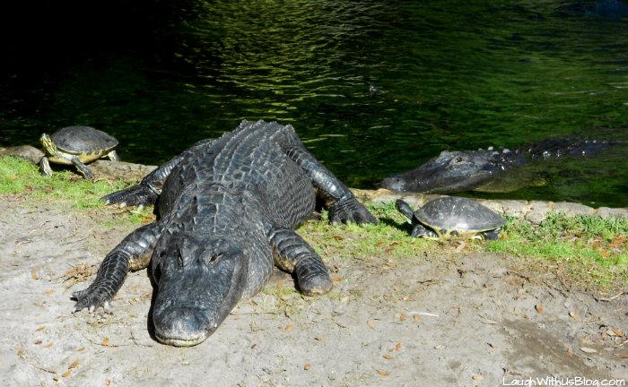 Busch Gardens Alligators #ad