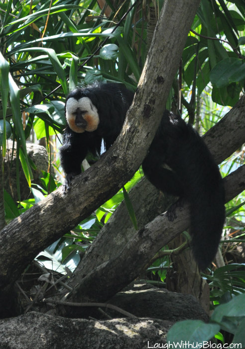 Moody Gardens Rainforest Monkey #ad