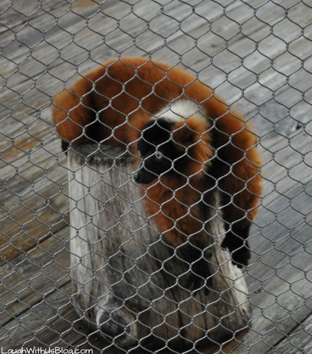 Lemurs at SeaWorld Texas #adventurecon15 #wildside15