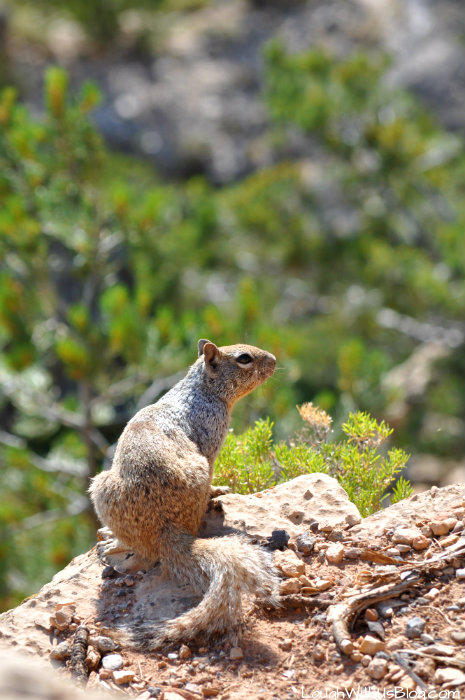 grand-canyon-squirrel