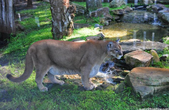 gatorland-animals-florida-panthers