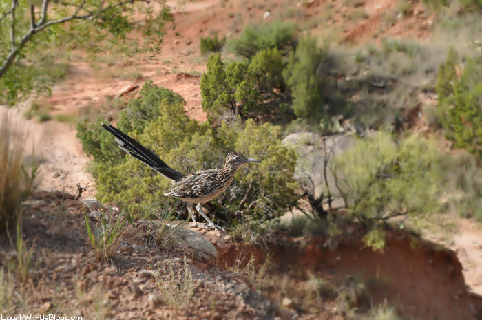 amarillo-palo-duro-canyon-road-runner