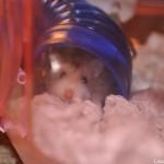 Pet sitting a hamster