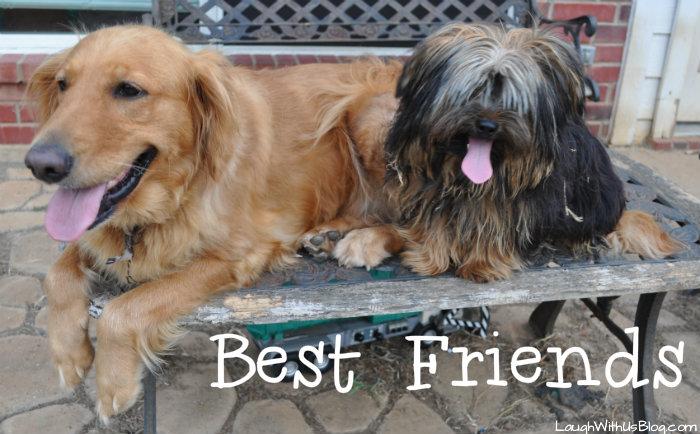 Yorkie Golden Retriever Best Friends #sponsored