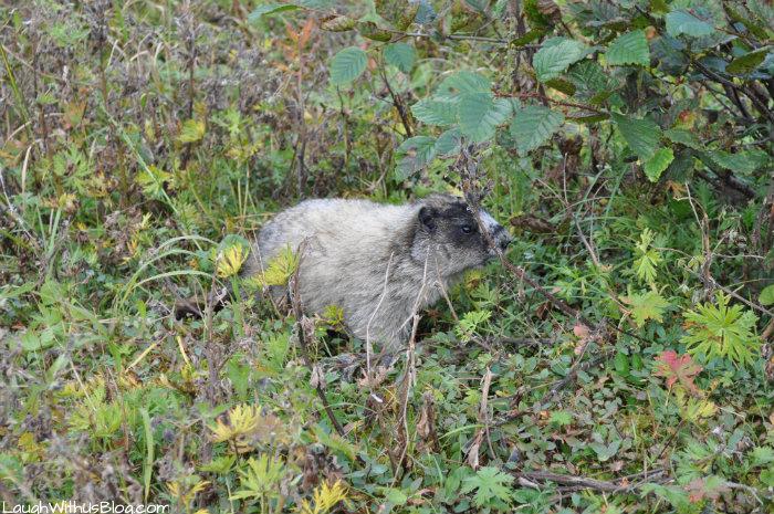 Marmot in Alaska