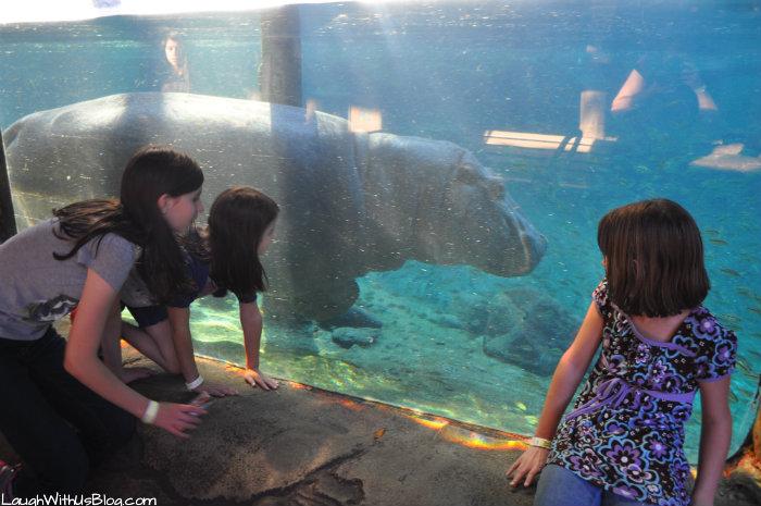 Busch Gardens Hippo #ad