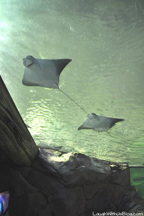 Stingrays at Sea World Orlando #ad