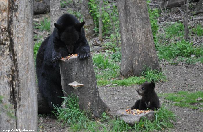 Vince Shute Bear Sanctuary Minnesotta