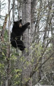 Vince Shute Bears Wildlife Preserve