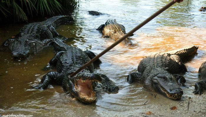 gatorland-gators