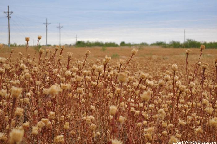 lubbock-lake-landmark-dried-wild-flowers