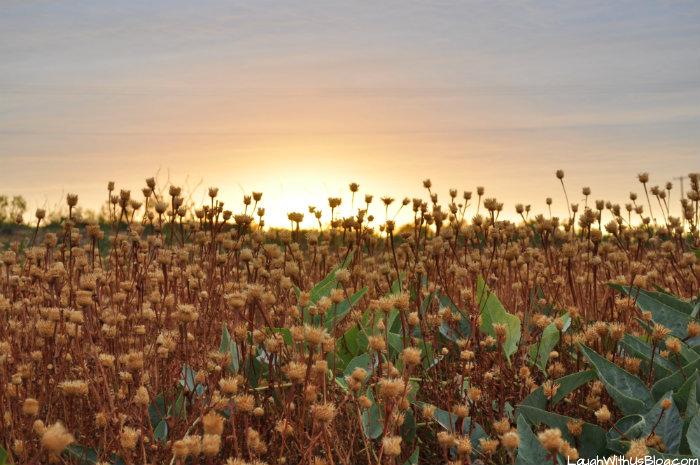 lubbock-lake-landmark-wildflower-sunset
